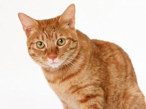 Причины проявления нечистоплотности кошек