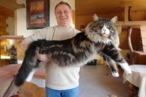 Енотовая кошка