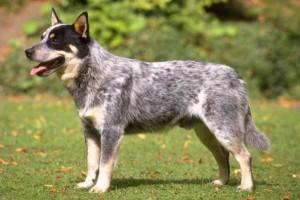 Австралийский хилер — мощная и проворная рабочая собака