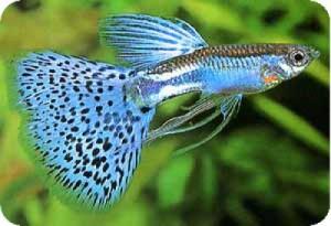 Рыбка Гуппи. Как ее содержать дома?