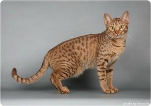 Кто предок кошки