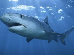 tiger-shark-wallpaper-2-640x480
